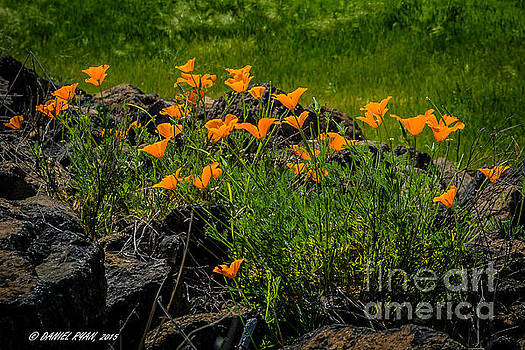 Poppies on the Rocks by Daniel Ryan