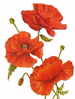 Poppies on White by Frances Evans