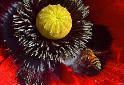 Poppy And A Bee 005 by George Bostian