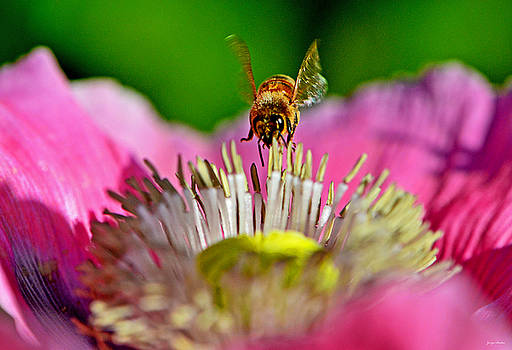 Poppy And A Bee 006 by George Bostian