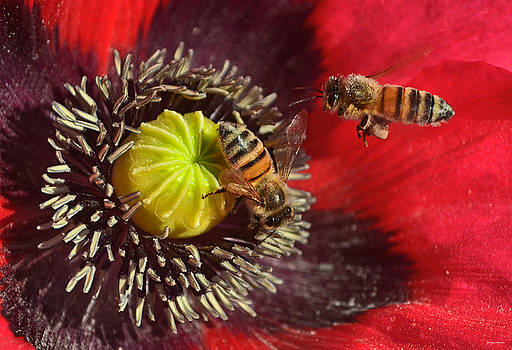 Poppy And A Bee 010 by George Bostian