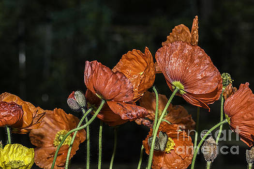 Steve Purnell - Poppy Drama