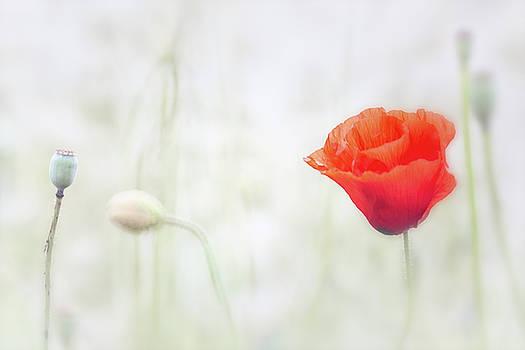 Poppy flower floating in the meadow by Dirk Ercken