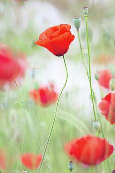 Poppy flower meadow by Dirk Ercken
