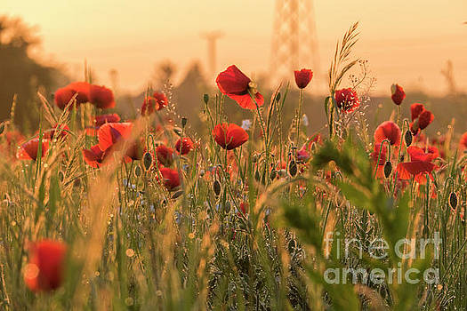Poppy flowers by Odon Czintos