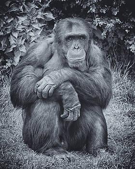 Portrait of a Chimp by Chris Boulton