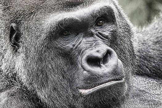Portrait of a Gorilla by Jeff Swanson