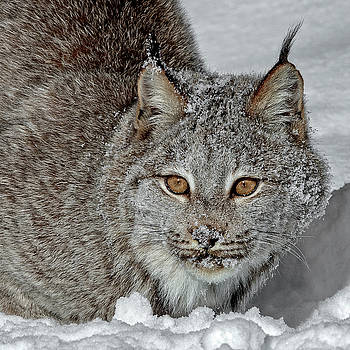 Portrait Of A Lynx D2476 by Wes and Dotty Weber