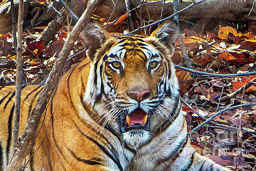 Portrait of a tiger by Pravine Chester