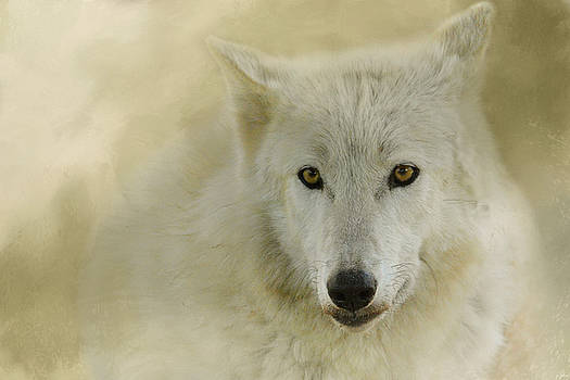 Jai Johnson - Portrait of a Timber Wolf