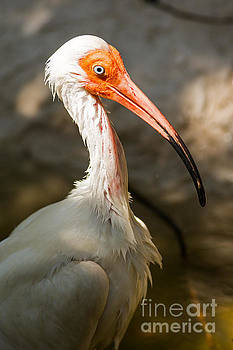 Portrait of an Ibis by Natural Focal Point Photography