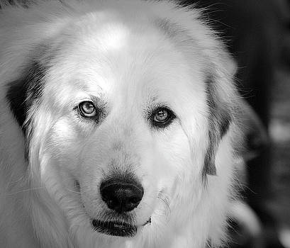 Portrait of aTherapy Dog-1 by Barbara Dudley