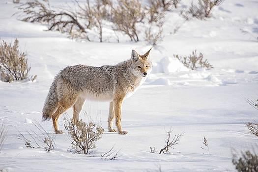 Posing Coyote by Brad Scott