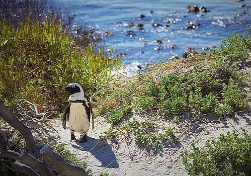 Posing Penguin by Jennifer Ansier