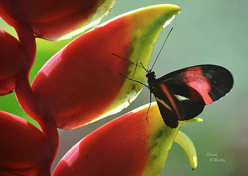 Postman Butterfly's Search by Sandi OReilly