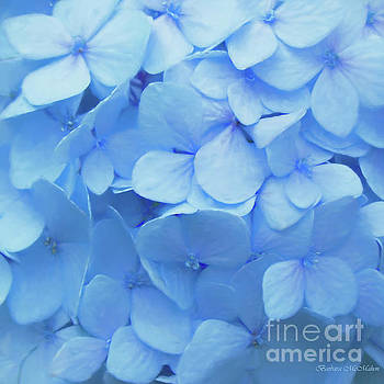 Powder Blue Hydrangea by Barbara McMahon
