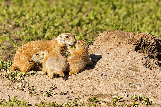 Prairie Dog and Pups by Natural Focal Point Photography