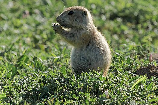 Prairie Dog Eating by John Daly