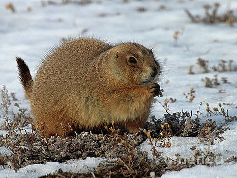 Prairie dog on a winter day by Bill Gabbert