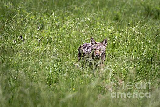 Prairie Predator by Andrea Silies