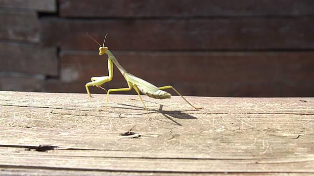Praying Mantis  by Don Koester