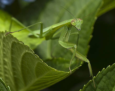Praying Mantis by Jane Brack