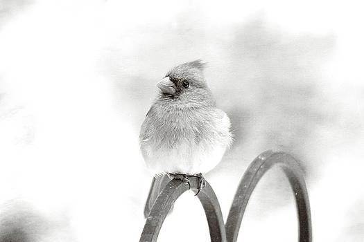 Pretty Cardinal in Black and White by Trina Ansel