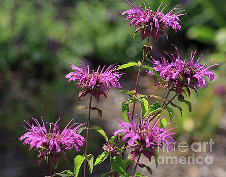 Pretty Flower Bee Balm Peters Purple by Louise Heusinkveld