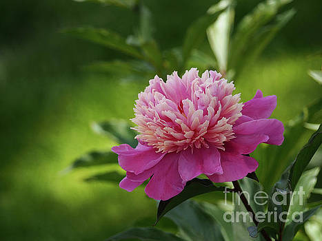 Pretty Peony In The Garden Shadows by Dorothy Lee