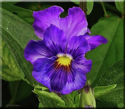 Pretty Purple Pansie by Mikki Cucuzzo