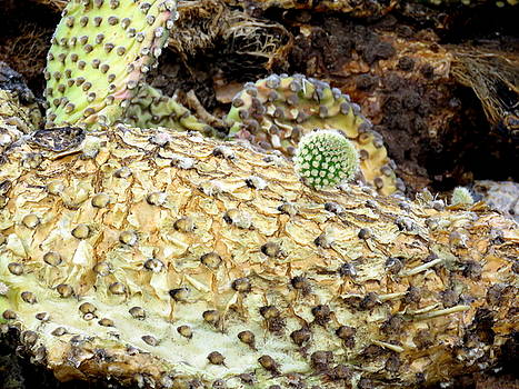 Prickly Pear Cactus Plant by Selma Glunn