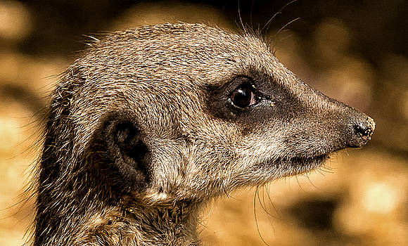 Profile of a Meerkat by Chris Boulton