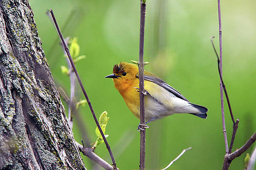 Prothonotary Warbler by David Yunker