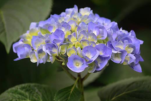 Proud Blue Hydrangea by Sandi OReilly
