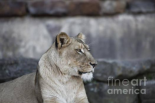 Proud lioness  by Douglas Barnard