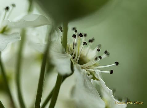 Prunus 2 by Francoise Dugourd-Caput