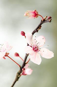 Prunus by Jeremy Sage