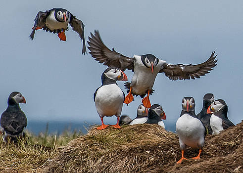 Puffins by Brian Tarr