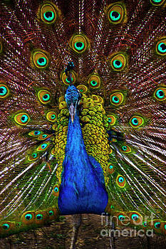 Pumapungo Peacock III by Al Bourassa