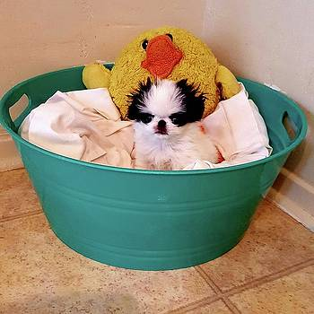 Puppy in a Bucket, Japanese Chin by Kathleen Sepulveda