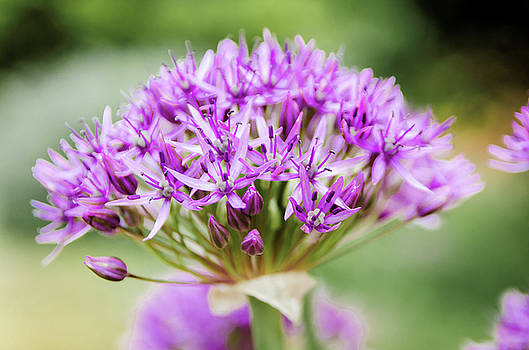 Purple Allium by Jeremy Sage