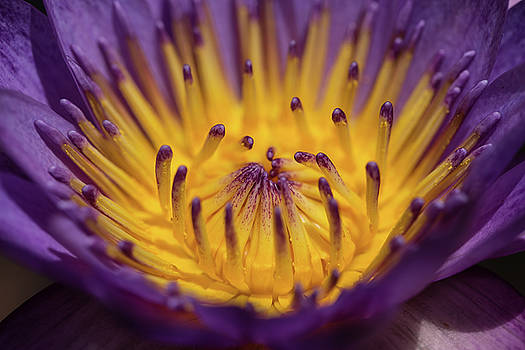 Purple and Gold Water Lily by Greg Thiemeyer