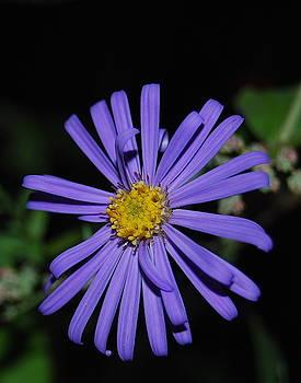 Michael Peychich - Purple Aster