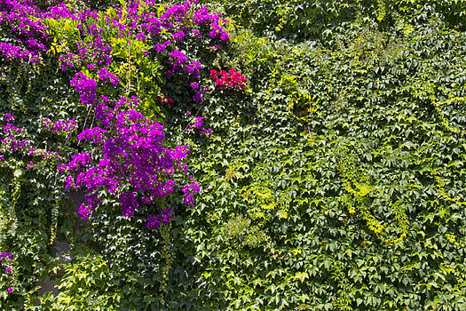 Purple Bougainvillea Greenery  by Daphne Sampson