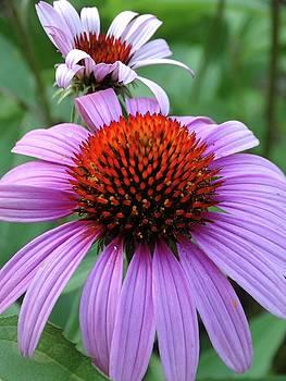 Purple Coneflowers by Rebecca Overton