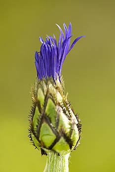 Purple crest by Jouko Mikkola