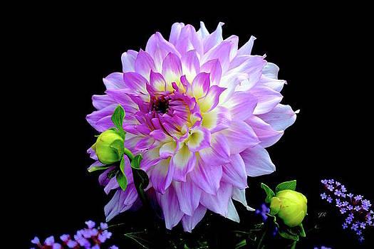 Purple Dahlia with Buds by Jeannie Rhode Photography