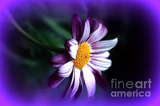 Susanne Van Hulst - Purple Daisy Flower