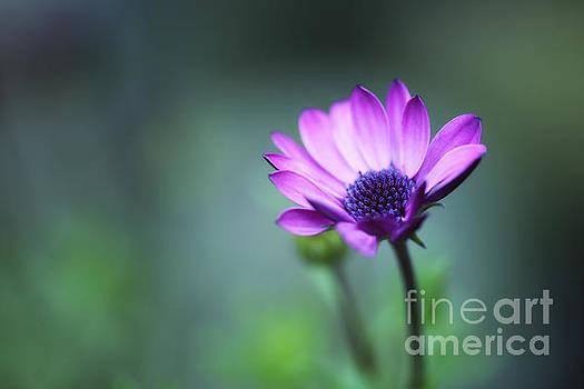 LHJB Photography - Purple daisy