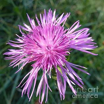 Purple Dandelions 3 by Jean Bernard Roussilhe